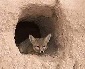 Kit Fox in shelter