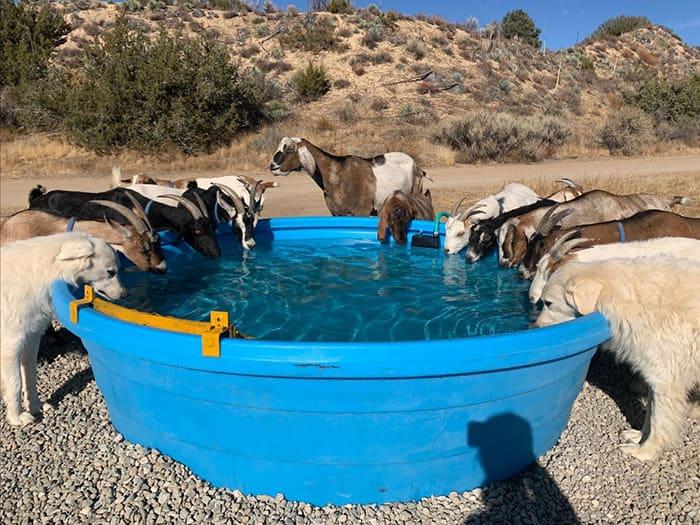 Goat Herd - Quail Springs